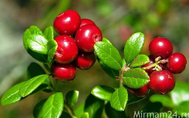 Брусника - чудо-ягода